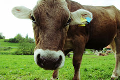 Cows. An inquisitive cow in the pasture. Wide Shot of a Bavarian cow Royalty Free Stock Images