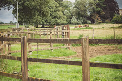 Cows inside the fence Stock Images