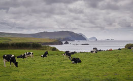 Cows at the Irish coast. Grazing cows at the scenic coast of Dingle, Western Ireland royalty free stock photo