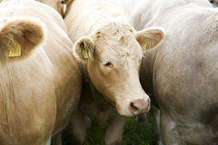 Cows in an Irish farm Royalty Free Stock Photography