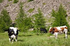 Cows and Italian Alps Royalty Free Stock Photography