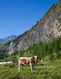 Cows and Italian Alps Stock Images