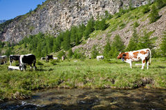 Cows and Italian Alps Stock Photos