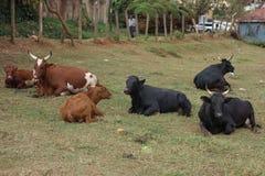 Cows in Kampala Stock Photo