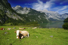 Cows and Koenigssee Royalty Free Stock Images