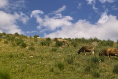 Cows in Kyrgyzstan. Cows pastured in the Kyrgyzstan Royalty Free Stock Images