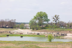 Cows and lake. Dairy cattle in field with lake Stock Images