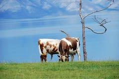 Cows and a lake. Cows feeding on green grassy slope near Baikal lake Stock Photos