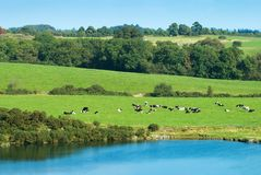 Cows and Lake. Cows relaxing in the Autumn sun in Shropshire, England Royalty Free Stock Image