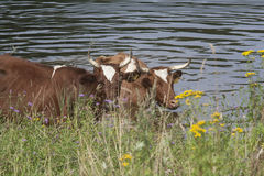 Cows in the lake. Rural landscape royalty free stock image