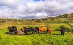 Cows in Lake District Stock Image