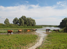 Cows are in a lake Stock Photo