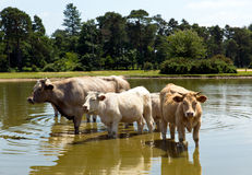 Cows in a lake on hot day Royalty Free Stock Photography