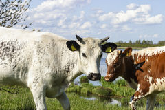 Cows by the lake Stock Images