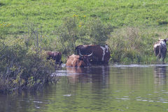 Cows in the lake. Rural landscape royalty free stock photography