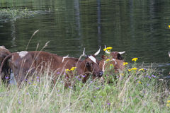 Cows in the lake. Rural landscape royalty free stock photo