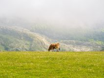 cows in the Lakes of Covadonga stock photography