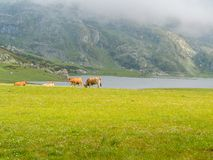 cows in the Lakes of Covadonga in the Picos de Europa stock image