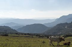Cows on the land with hills. royalty free stock photo