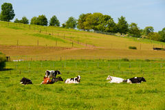 Cows in landscape Royalty Free Stock Photography