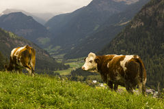 Cows in landscape of Austrian Alps stock photo