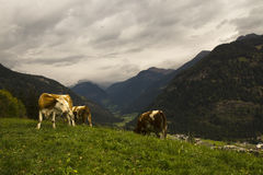 Cows in landscape of Austrian Alps Royalty Free Stock Image