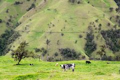 Cows and Landscape Royalty Free Stock Images