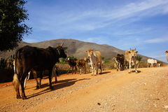 Cows in landscape of Myanmar Royalty Free Stock Photo