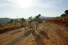 Cows in landscape of Myanmar Stock Photo