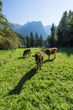 Cows. Landscape protection area Achstürze. Cattle and alps in the background. Royalty Free Stock Photos