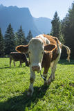 Cows. Landscape protection area Achstürze. Cattle and alps in the background. Stock Photos