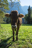 Cows. Landscape protection area Achstürze. Cattle and alps in the background. Stock Photography