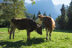 Cows. Landscape protection area Achstürze. Cattle and alps in the background. Stock Image