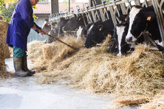 Cows in large cowshed eating hay with farmer and hay bales Stock Image