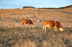 Cows. In a large field, autumn landscape, Old Mountain (Stara Planina) in east Serbia Royalty Free Stock Photo