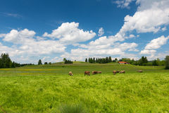 Cows on large meadow with green grass Stock Photos