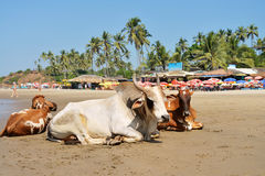 Cows laying on the beach Royalty Free Stock Images