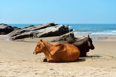 Cows laying on the beach Royalty Free Stock Photos