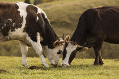 Cows laying down or sitting on grass on hill. Stock Photography