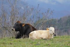 Cows laying in the mountains Royalty Free Stock Photos