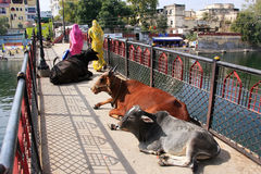 Cows Laying On A Bridge, Udaipur, India Royalty Free Stock Photo