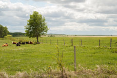 Cows laying under tree Stock Photos
