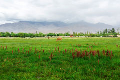 Cows in Leh Ladakh Royalty Free Stock Photography
