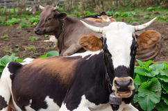 Cows lie on a green meadow, resting and some of them looking at camera. Cows lie on a green meadow, resting and some of them looking at camera Royalty Free Stock Images