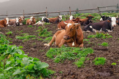 Cows lie on a green meadow, resting and some of them looking at camera. Cows lie on a green meadow, resting and some of them looking at camera Royalty Free Stock Image