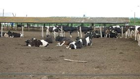 Cows lie on the ground.