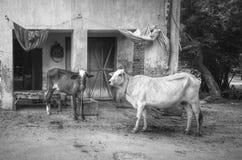 Monochrome life of cow Stock Photo