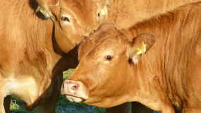 Cows - limousin cattle, bos taurus Royalty Free Stock Photos