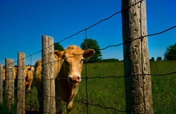 Cows. Line up along an old barb wire farm fence royalty free stock images