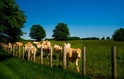 Cows. Line up along an old barb wire farm fence stock photography